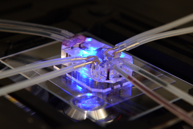 The ability to grow human tissue onto chips could end the need for animal testing and also provide more relevant test results. By Wyss Institute at Harvard University