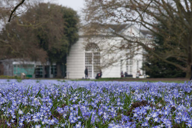 Crocuses in front of Orangery