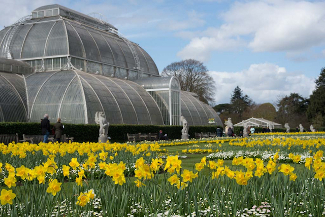 Daffodils in front of the Palm House