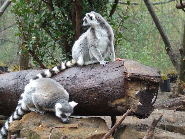 ZSL London Zoo Announces Walkthrough Lemur Enclosure