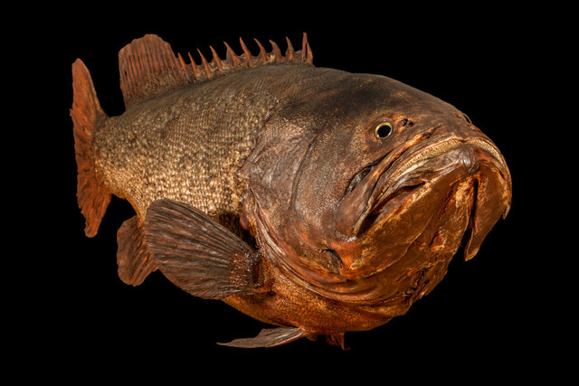 This giant grouper is impressively large, yet undeniably dead. © NHM, London