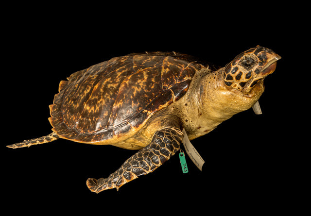 Hawksbill turtles eat the algae that can overwhelm the corals, but overfishing may upset this balance. © NHM, London