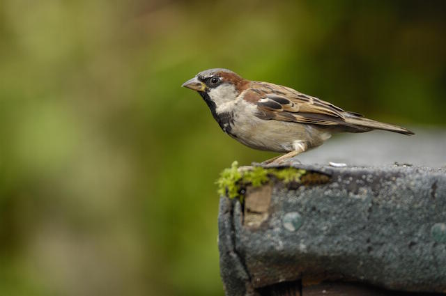 A house sparrow. Image: Ray Kennedy (rspb-images.com)