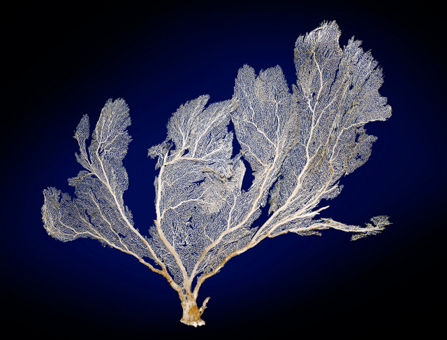 A large yet delicate sea fan, unfortunately lacking in vitality. © NHM, London