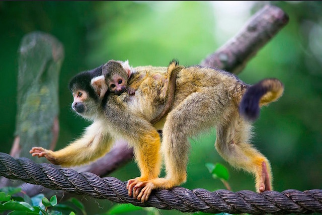 Squirrel monkeys at London Zoo. Photo: Mac Spud (2014)