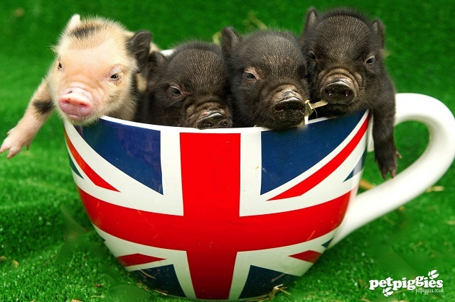 tea-cup-pigs-petpiggies.jpeg