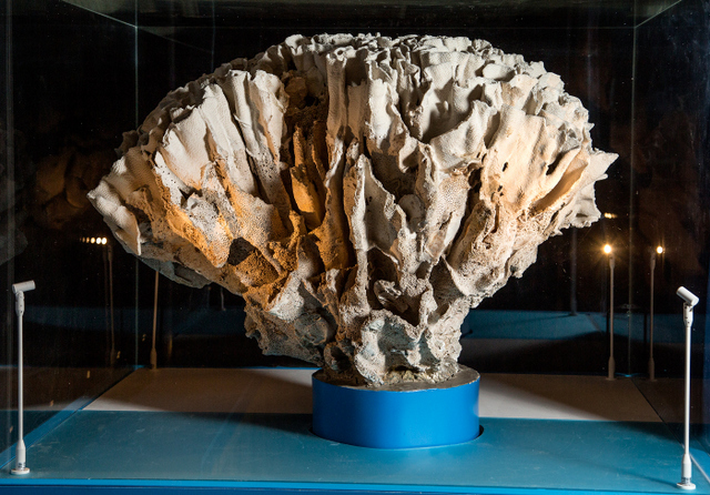 The giant Turbinaria coral. © NHM, London