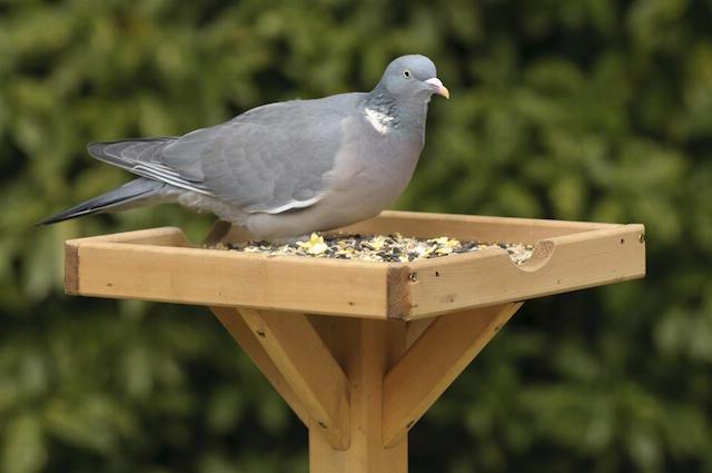 Woodpigeon. Image: Chris Gomersall (rspb-images.com)