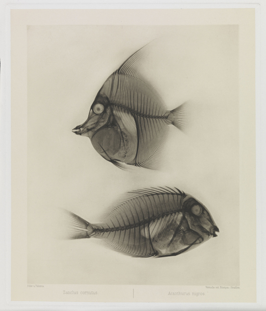 Early x-rays were produced of many creatures including this pairing of an angelfish and a surgeon fish. © National Media Museum Bradford