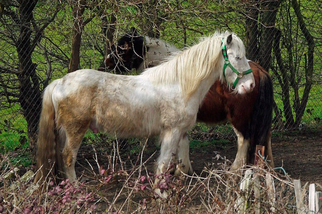 Two Hampton horses. Photo: cdb41 (2015)