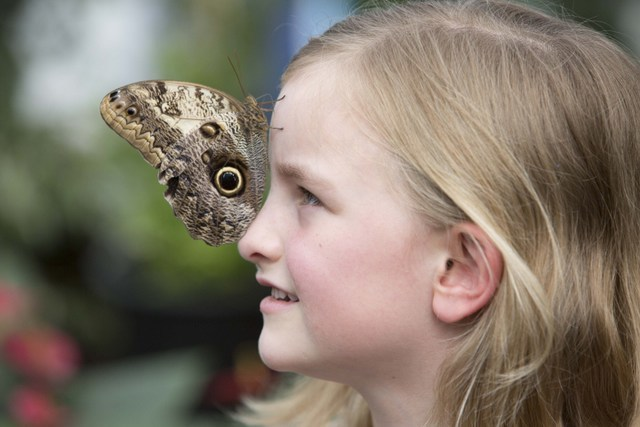 Owl butterflies in particular like to land on people, though other species are less bold.
