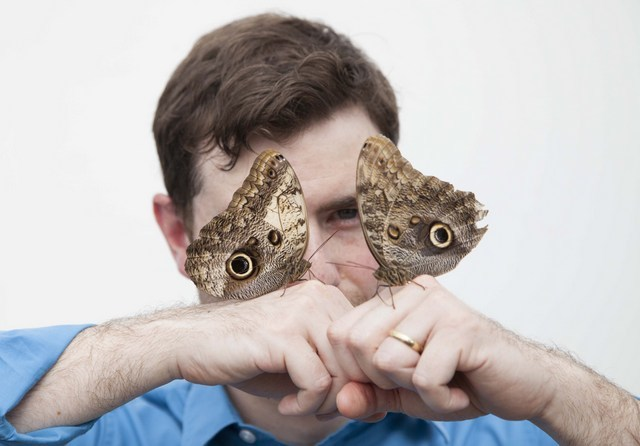 A pair of owl butterflies.