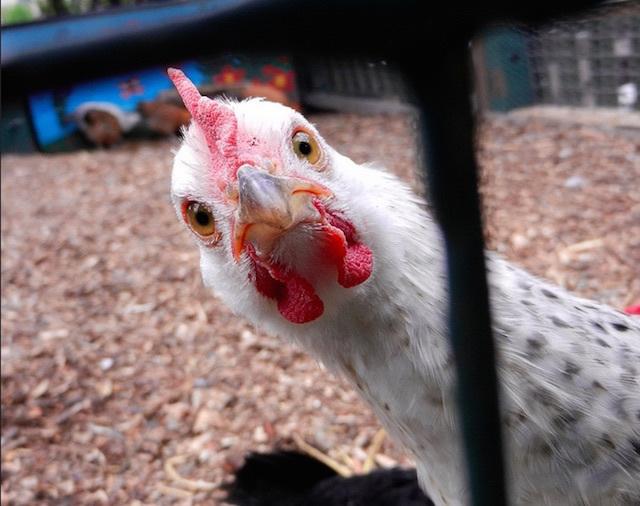 Someone didn't like having their photo taken at Vauxhall City Farm. Photo: Melanie Stanton (2012)