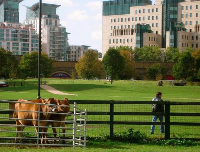 Urban cattle at Vauxhall City Farm. Photo: Ronald Hackston (2009)