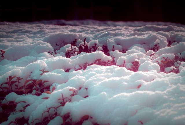 Snow on top of red vegetation
