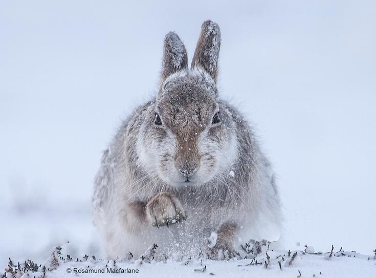 21-_rosamund_macfarlane__snow_hare.jpg