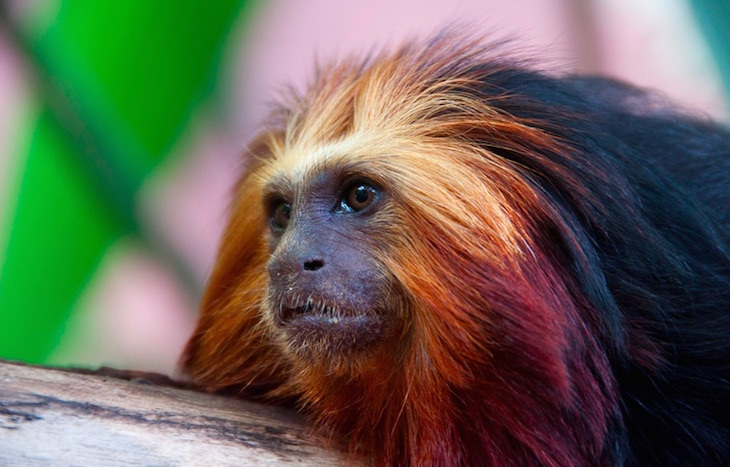 "This chap at London Zoo prefers to be referred to as a ""golden-headed"" lion tamarin."