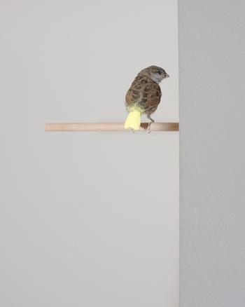 4_famed_untitled__gelbe_farbe_macht_aus_spatzen_kanarienvogel_-_bird_taxidermy__paint__2012.jpeg