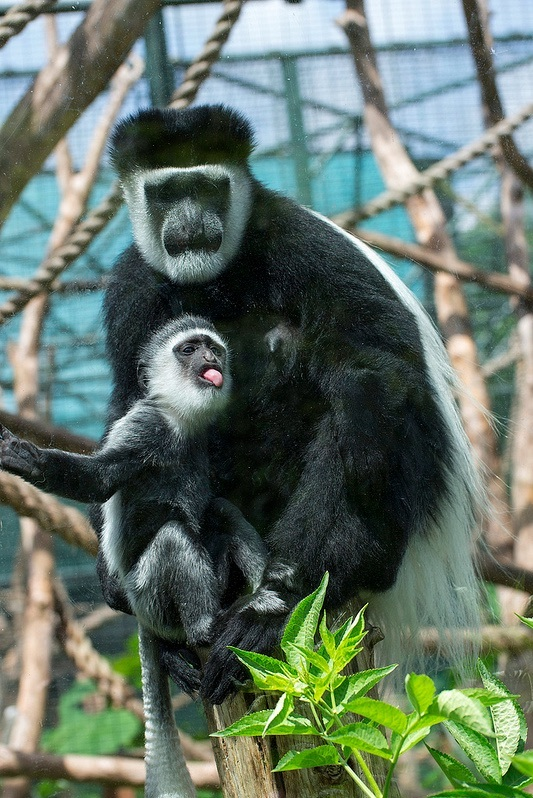 colobus_edit.jpg