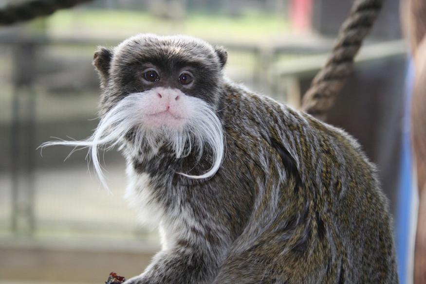 emperor-tamarin-monkey-875.jpg