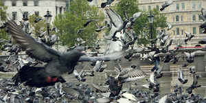 Where Did Trafalgar Square's Pigeons Come From?