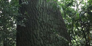 Is This London's Tallest Tree?