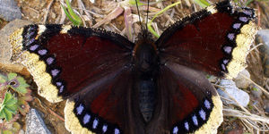 The Butterfly Named After A Part Of South London