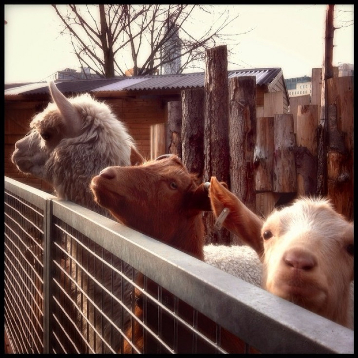 In Pictures: London's Cutest City Farm Animals
