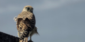 Everything You Need To Know About London's Peregrine Falcons