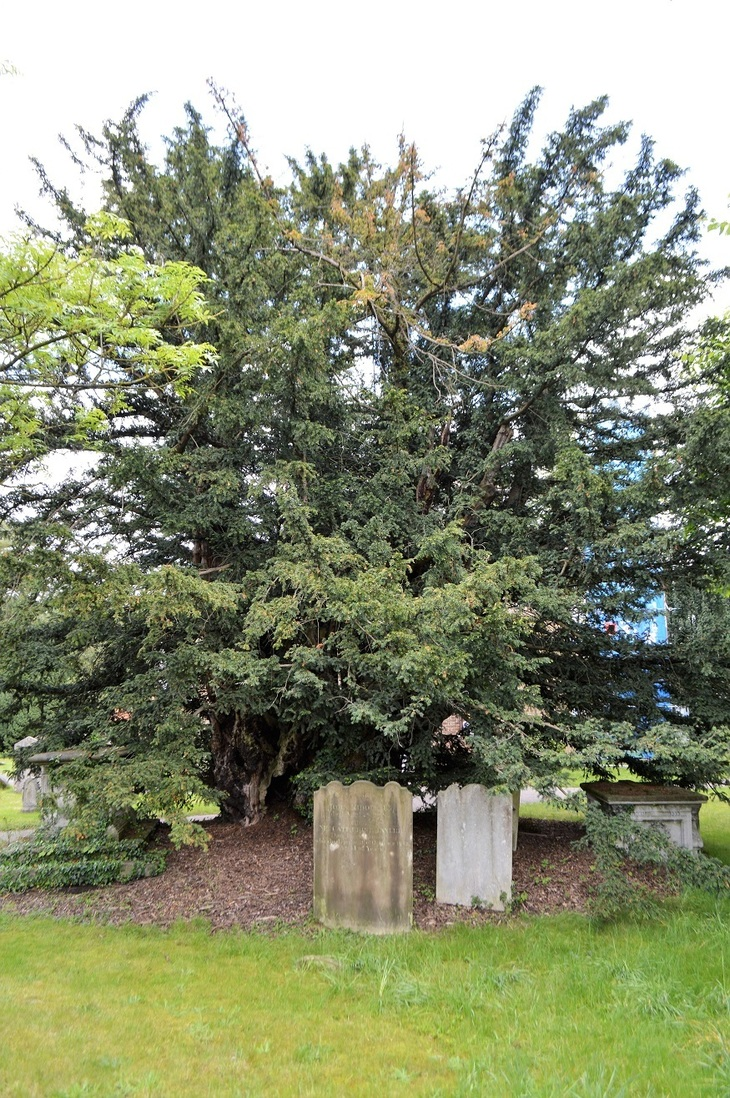 London's Oldest Resident: A Yew Tree In Barnet
