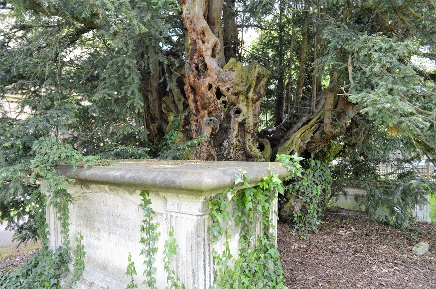 The oldest living tree in London is where?