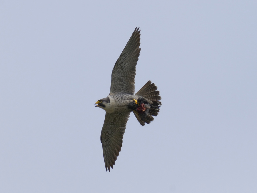 Where to see peregrine falcons in London