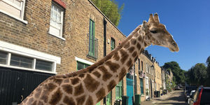 When A Giraffe Lived Behind A North London Pub