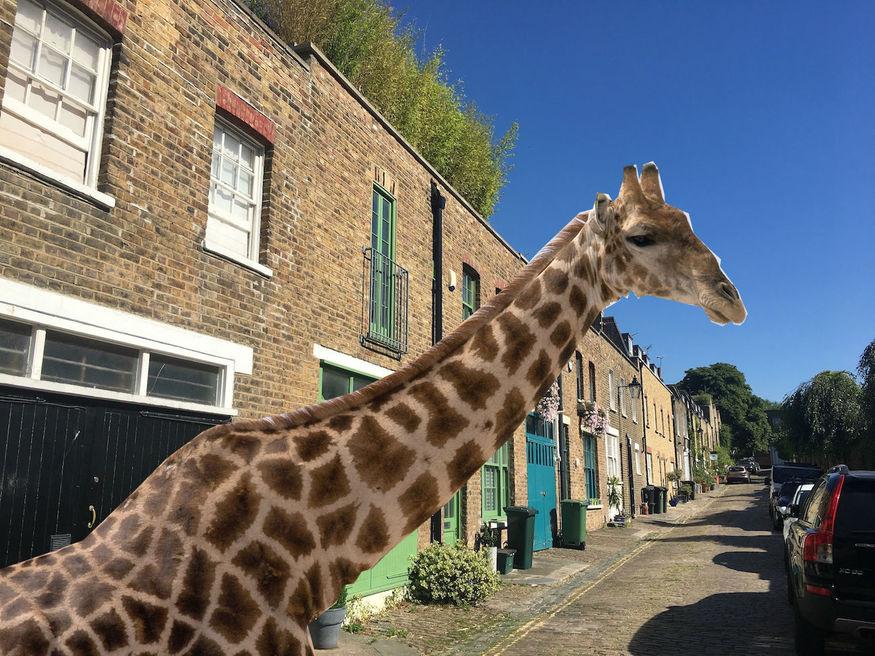 When A Giraffe Lived Behind A North London Pub