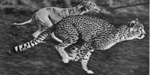 Hold On A Minute...There Was Cheetah Racing In Green Lanes In The 1930s?