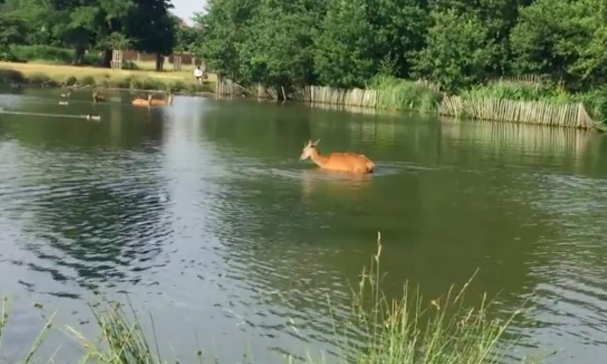 Deer spotted swimming in Richmond Park to beat the heat