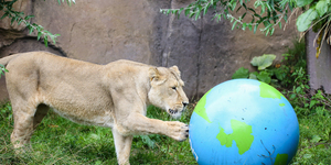 In Photos: London Zoo's Lions Celebrate World Lion Day