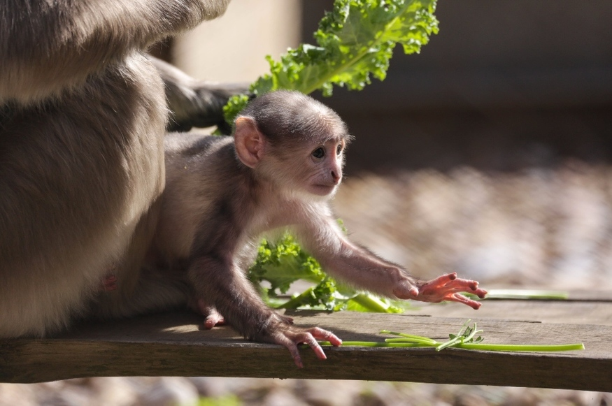 How Cute Is This 'Sacred' Monkey, Just Born At London Zoo?
