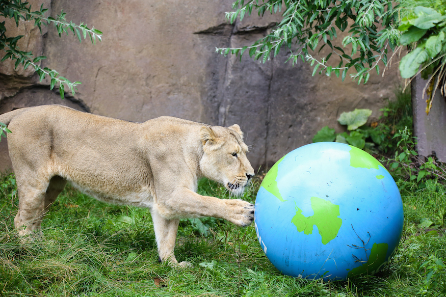 London Zoo's Lions Have Got A New Toy