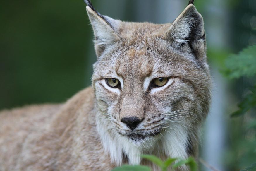 When a lynx roamed free across suburban London