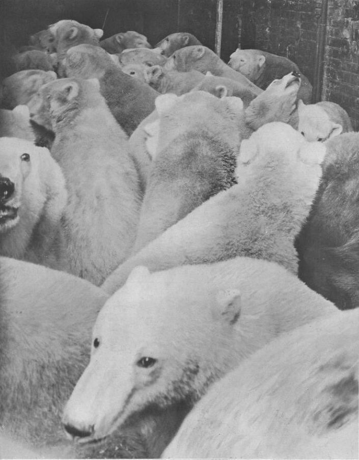 The Crazy Christmas When 70 Polar Bears Descended On Leicester Square