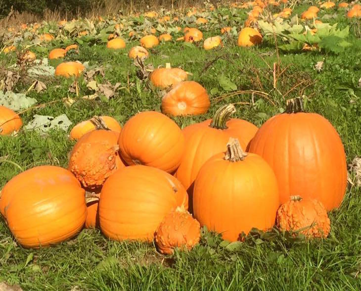 Pumpkin picking near London Four Winds Farm Bidborough Kent