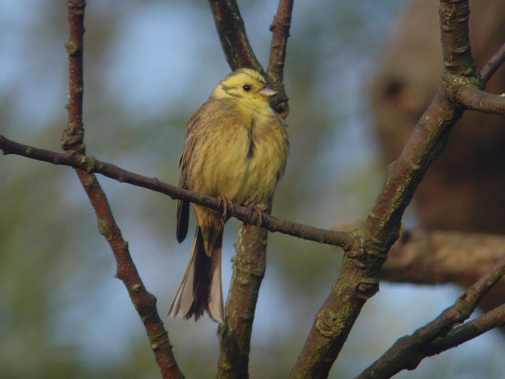 A yellowhammer in Hornchurch
