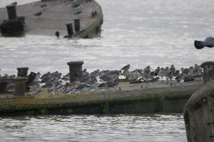 Godwits converge on Mulberry Harbour