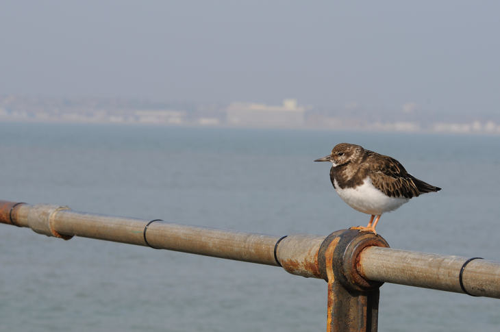 A turnstone enjoys the sea air at Southend. Which we admit, isn't strictly London.