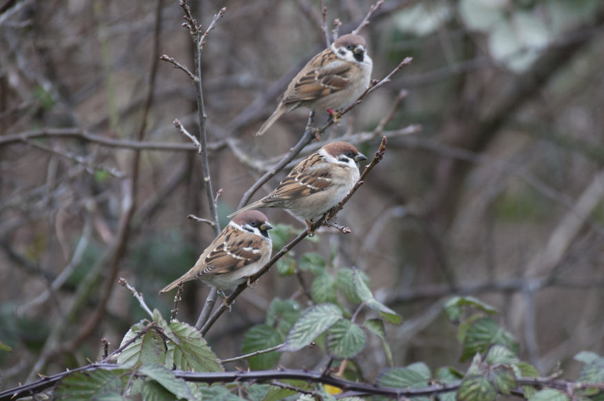 Tree sparrows at Beddington