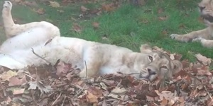 Watch The London Zoo Lions Absolutely Loving Life In The Autumn Leaves