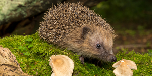 Where To Find Hedgehogs In Central London