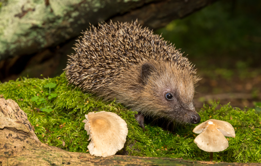 A European hedgehog, going about its business.