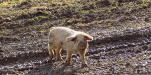 This Farcical North London Tradition Involves Kicking A Pig Out Of A Ditch